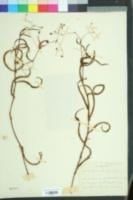 Image of Persicaria meisneriana