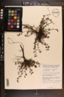 Ayenia euphrasiifolia image
