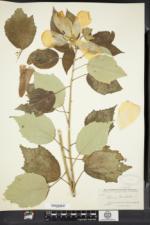 Hibiscus moscheutos image