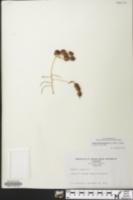 Styphnolobium japonicum image
