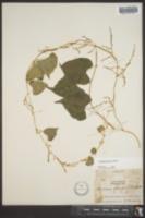 Dioscorea floridana image