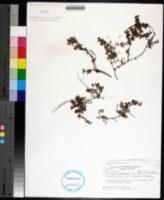 Image of Houstonia procumbens