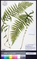 Thelypteris noveboracensis image