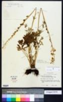 Delphinium carolinianum subsp. calciphilum image