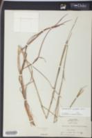 Image of Schizachyrium semiberbe