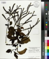 Image of Deeringia amaranthoides