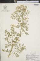 Conium maculatum image