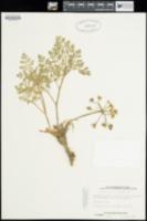 Lomatium insulare image