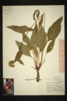 Parthenium integrifolium image