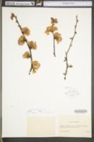 Chaenomeles japonica image
