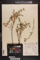 Image of Chamaesyce buxifolia