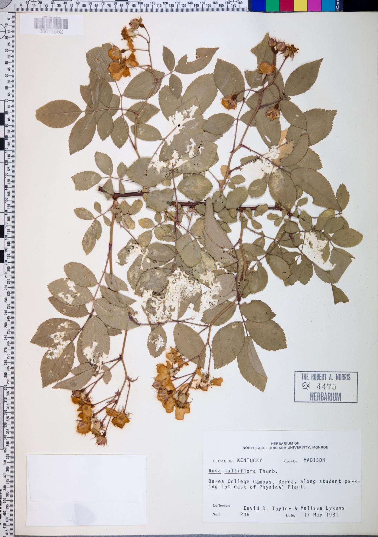 Rosa multiflora f. watsoniana image