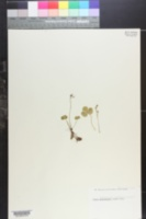 Coptis trifolia var. groenlandica image