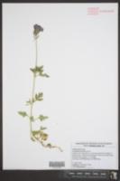 Image of Geranium traversii