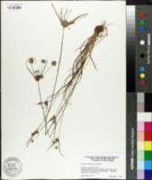 Image of Cyperus globulosus