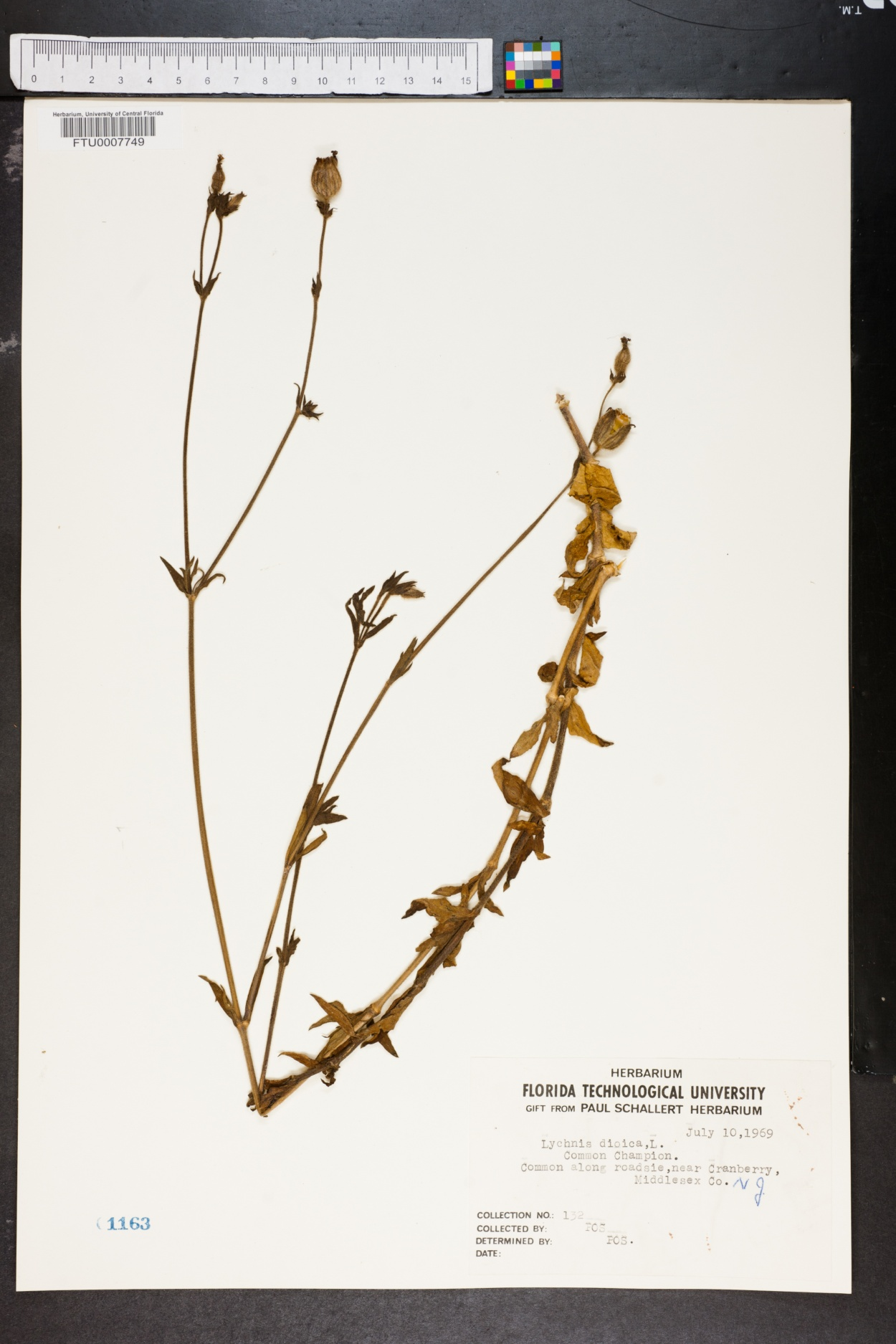 Lychnis dioica image