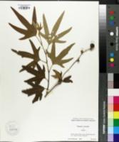 Platanus orientalis image
