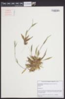 Dichanthelium acuminatum var. acuminatum image