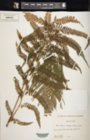 Microlepia strigosa image