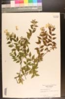Image of Abelia floribunda