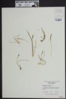 Triglochin striata image