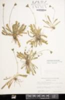Leontodon taraxacoides image