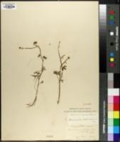 Image of Ranunculus delphinifolius
