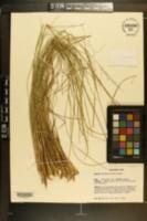 Image of Sporobolus silveanus
