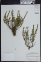 Image of Scutellaria wrightii