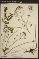 Origanum vulgare image