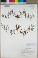 Erythranthe calcicola image