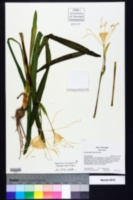 Hymenocallis crassifolia image