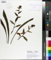 Pulmonaria longifolia image