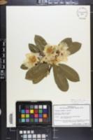 Image of Gordonia axillaris