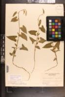 Calystegia catesbeiana subsp. catesbeiana image