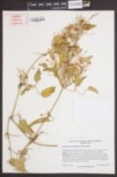 Clematis terniflora image