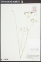 Oxypolis denticulata image