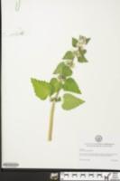 Image of Lamium moschatum