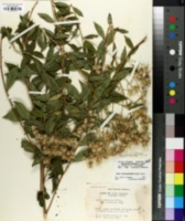 Image of Aster sericocarpoides