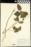 Smilax tamnoides var. hispida image