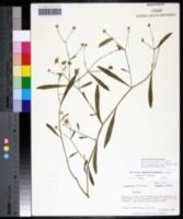 Boltonia apalachicolensis image