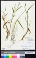 Image of Leptochloa mucronata