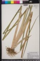 Philydrum lanuginosum image