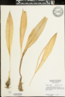 Allium burdickii image