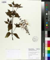Clerodendranthus spicatus image