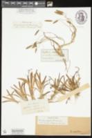 Image of Sagittaria natans