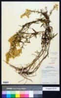 Solidago missouriensis image