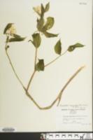 Prosartes maculata image