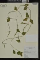 Strophostyles helvola image