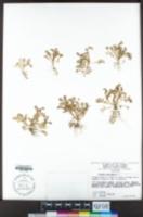 Cotula australis image